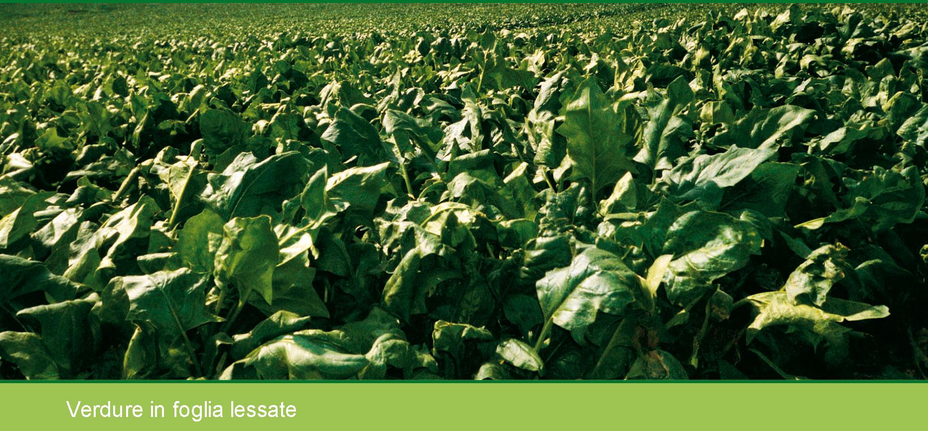 Liberto e la produzione di verdure in foglia toscane